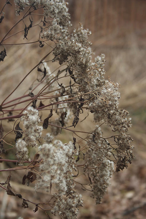 winter-snakeroot